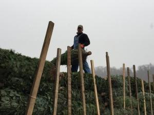 Chris unloading Christmas trees!